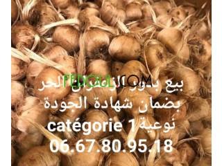 بيع بذور وشعيرات الزعفران الحر