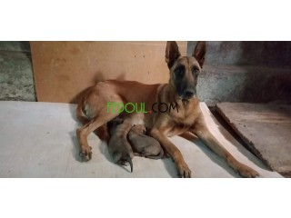 Chiens berger malinois