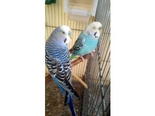 Oiseaux perruche