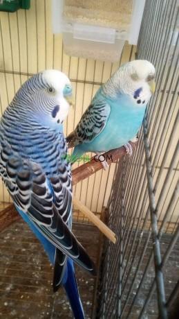 oiseaux-perruche-big-0