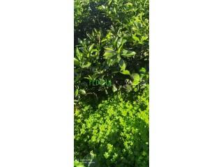 أشجار قارص مثمرة