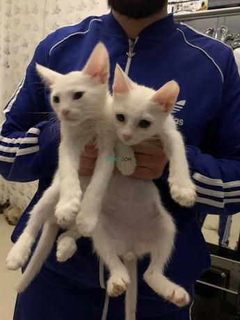 siamois-blanc-couple-big-2