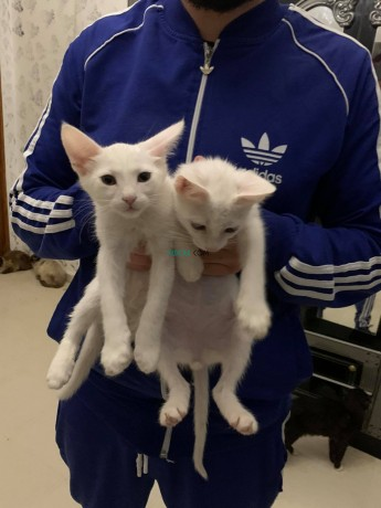 siamois-blanc-couple-big-3