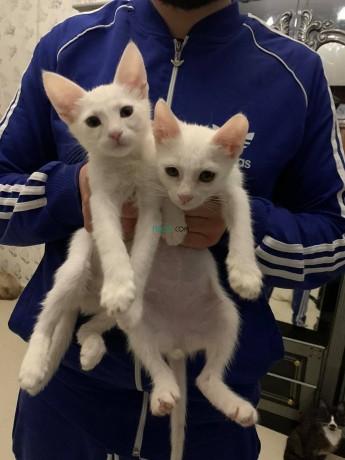 siamois-blanc-couple-big-0