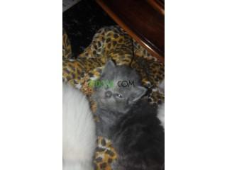 Des chat persian