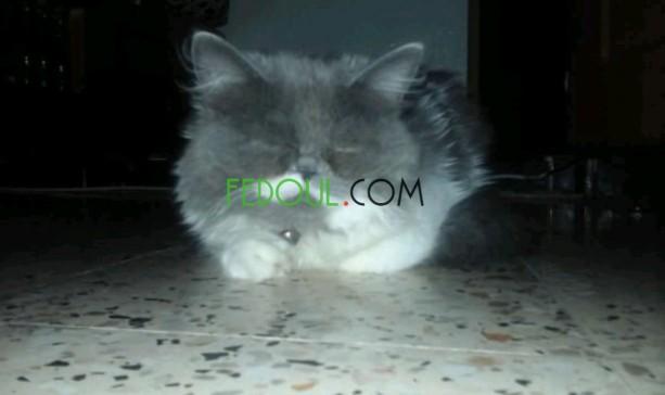 des-chat-persian-big-4