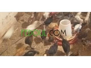 Poulet de ferme